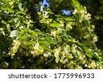Linden Tree Blooming In Spring...