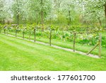 spring  blooming apple trees... | Shutterstock . vector #177601700