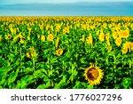 Amarillo Sunflower Field In...