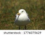 Seagull  Yellow Legged Gull...