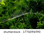 Spider Web On Green Leaves Of A ...