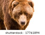 Brown Bear Close Up Portrait...