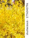 spring yellow Lian Qiao (Forsythiae Fructus) flower blossom