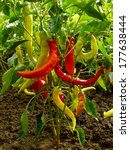 Hot Chili Peppers Growing In A...