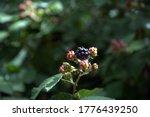 Ripening Blackberries On A...