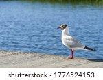Black Headed Gull Close Up In...