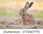 The european hare  lepus...