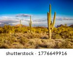 Cactus In Desert. Cacti In The...