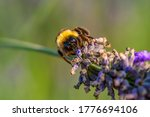 Close Up Of Bumblebee On...