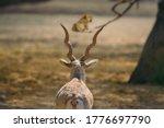 Male Blackbuck Looking At A...