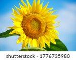 Bright Yellow Sunflower Agains...