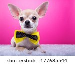 Stock photo beautiful chihuahua dog with bow tie animal portrait chihuahua dog in stylish clothes pink 177685544