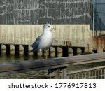 Bird Gull Sits On A Bridge....