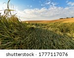 Wide Angle View Of A Wheat...