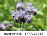 Lacy Phacelia On A Summer...