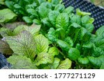Salad Plants In Detail Fresh...