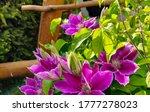 """dr. Ruppel"" Clematis Flower...."