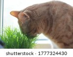 Ginger Cat Smelling Green Grass ...