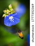 Honey Bee Hovering And...