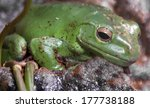 green tree frog. ltin name  ... | Shutterstock . vector #177738188