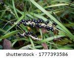 Evergreen Plants Of Liriope...