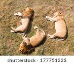 Three Lions Sleeping On The...