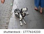 Cute Dalmatian Dog In The...