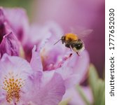 Bumblebee Flies Along The Pink...