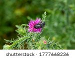 Welted Thistle Bloom In The...