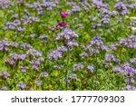 Wild Flowers Lacy Phacelia...