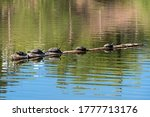 Turtles Basking In The Sun On A ...
