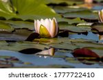 A Single Water Lily Among The...
