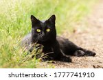 Beautiful Bombay black cat portrait with yellow eyes and attentive look lie outdoors in green grass in nature