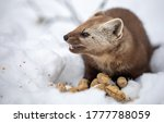 A Pine Marten In The Snow...