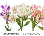 Alstroemeria Or Peruvian Lily...
