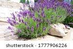 Bushes Of Lavender In Landscape ...