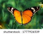 Yellow Morpho  Monarch...