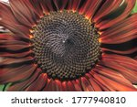 Beautiful Growing Sunflower Red ...