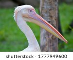 Pelicans Are A Large Water...