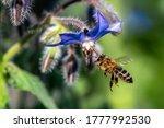 Macro Of Honey Bee Collecting...