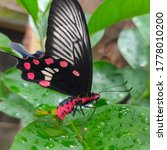 Red And Black Butterfly Sits O...
