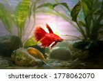 A Red Beautiful Betta Fish From ...
