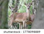 Herd Of Deer In The Woods ...