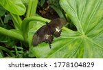 Awesome Black Butterfly On A...