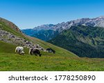 Small photo of White & black yak in alpine mountains. Himalayan big yak in beautiful landscape. Hairy cattle cow wild animal in nature. Sunny winter day, yak face - wildlife concept. Farm animal in Nepal & Tibet