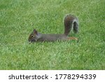 Grey Squirrel In The Backyard.