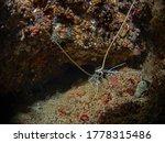 Small photo of Painted Rock Lobster, Schmuck Languste (Panulirus versicolor)