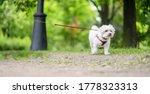 White Little Dog Maltese Dog...