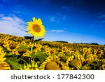 Sunflower Isolated In Field Of...