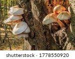 Several Mushrooms Grow On A...